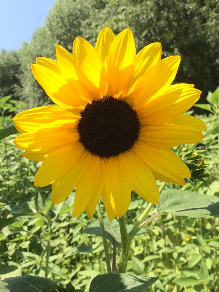 iPhone Sunflower