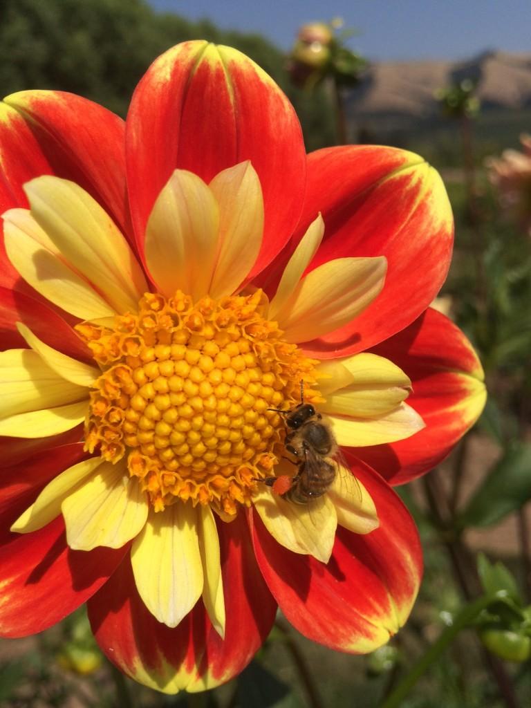 Bumble Bee Pollen